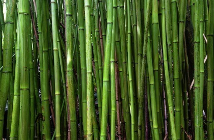 bamboo trees cape town