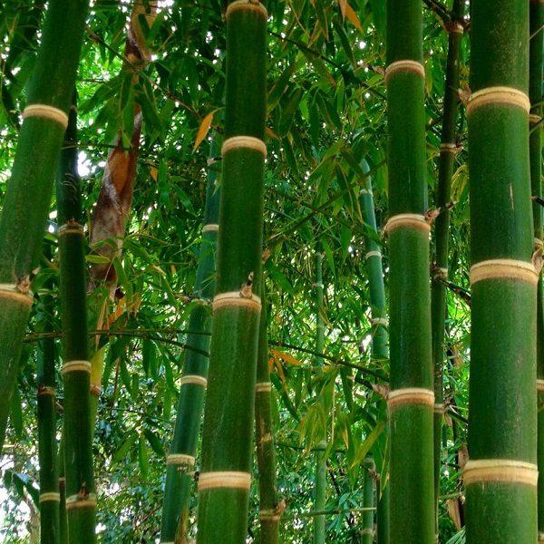 Bambusa Balcooa bamboo cape town