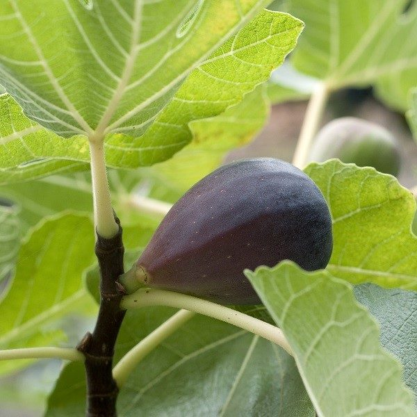 Black Mission Fig tree cape town