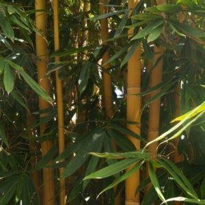 bambusa tuldoides bamboo