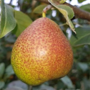 forelle pear tree cape town
