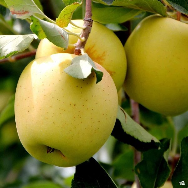 golden delicious apple tree south africa