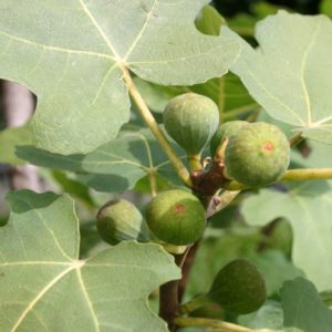 green fig tree south africa