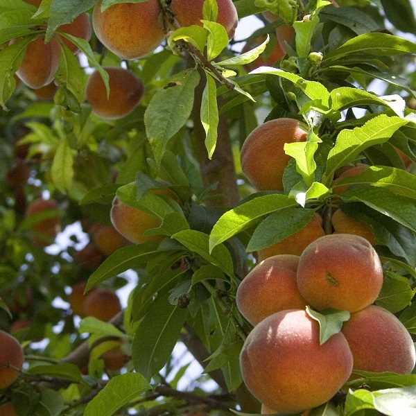 oom sarel peach tree south africa