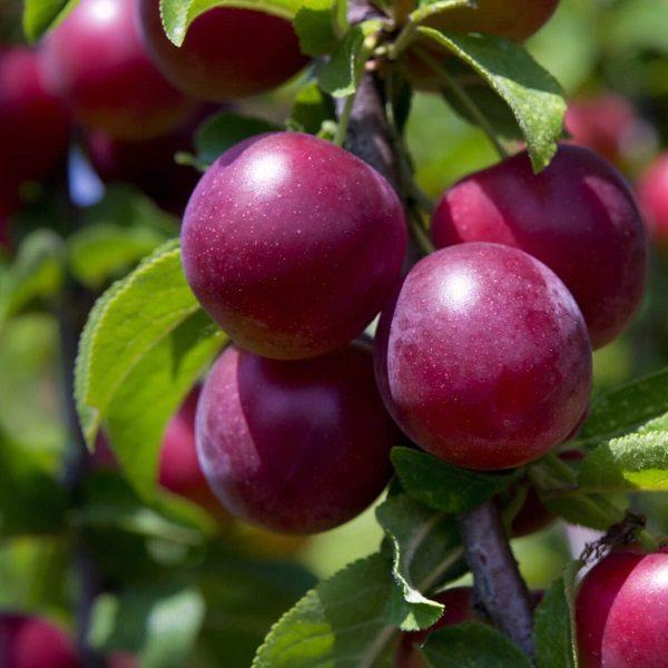 pioneer plum tree south africa