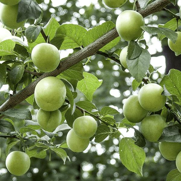 Prunus Domestica Plum tree cape town