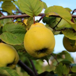 Quince trees for sale cape town